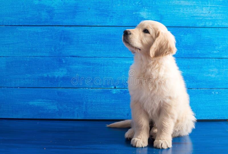 Engels Golden retrieverpuppy op Blauw Hout royalty-vrije stock fotografie