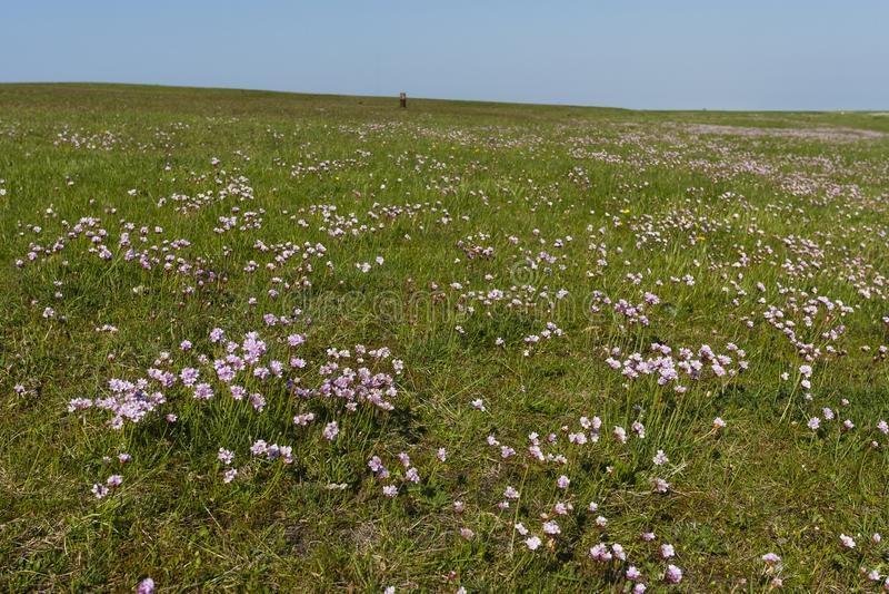 Engels gras, sparsamhet, Armeriamaritima royaltyfria foton