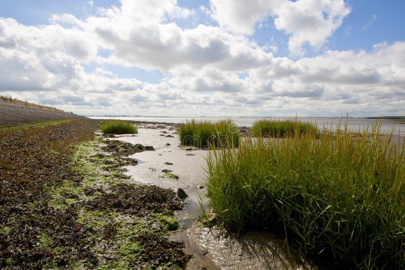 Engels Slijkgras, gemensamt Kabel-gräs, Spartinaanglica arkivfoto