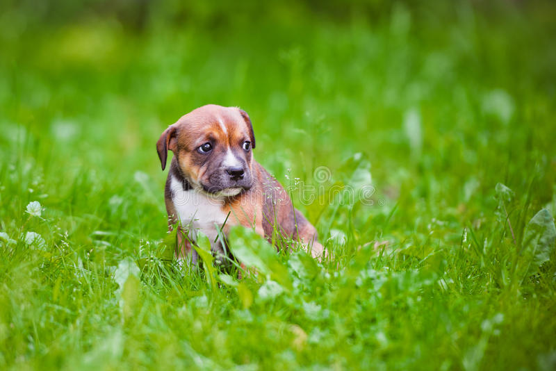 Engels staffordshire bull terrier puppy stock afbeelding
