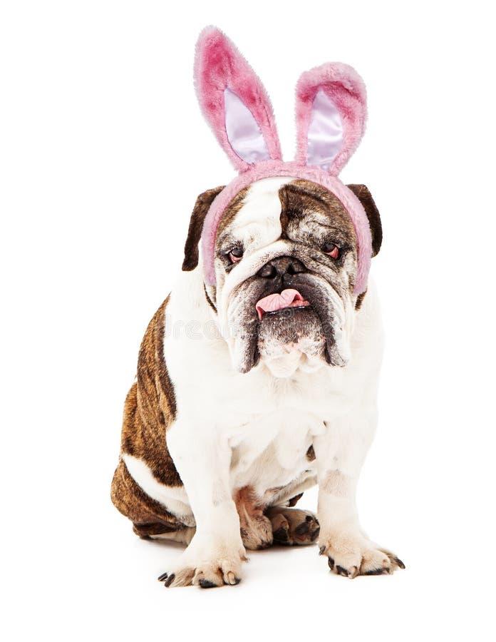Engelse Buldog die Bunny Ears draagt royalty-vrije stock afbeeldingen