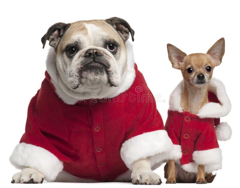 Engelse Buldog en Chihuahua in de uitrustingen van de Kerstman stock foto's