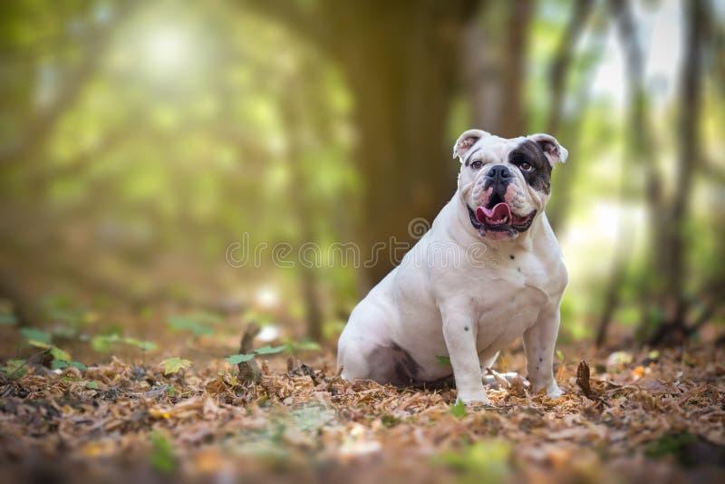 Engelse Buldog in het bos royalty-vrije stock afbeelding
