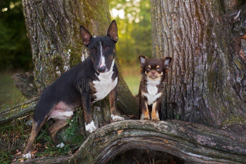 Engelse bull terrier en chihuahuahonden in openlucht royalty-vrije stock foto's