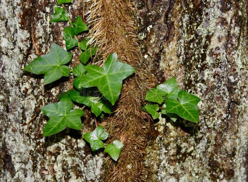 Engelse klimopwijnstok op een korstmos behandelde boomboomstam royalty-vrije stock afbeeldingen