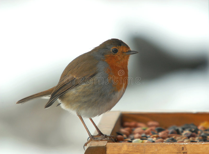 Engelse Robin royalty-vrije stock foto's