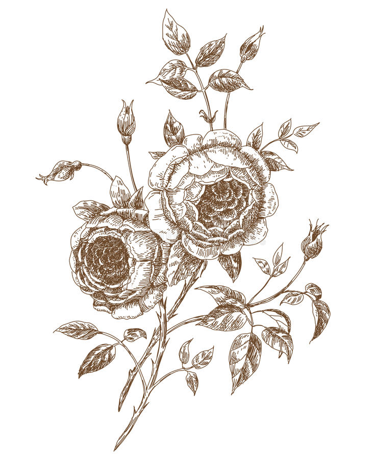 Engelse rozen royalty-vrije illustratie