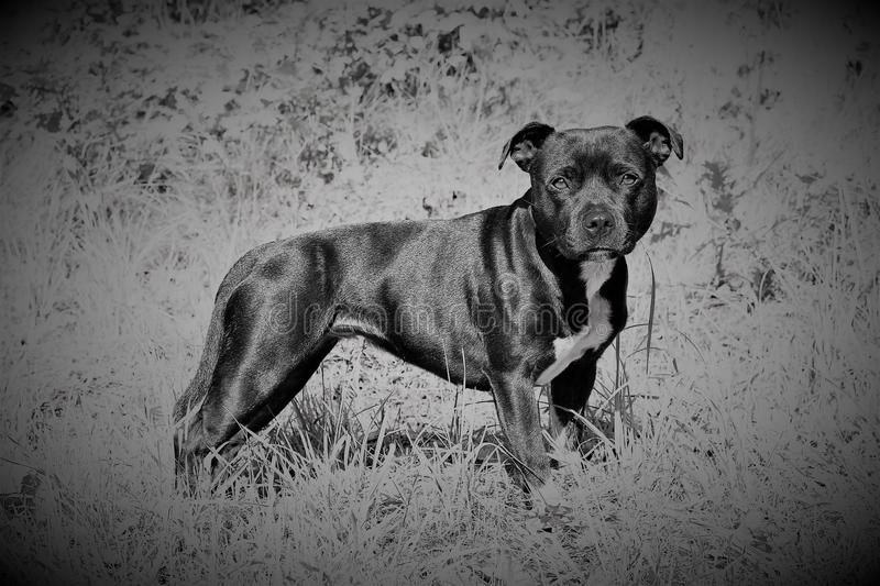 Engelse Staffordshire Bullterrier royalty-vrije stock foto