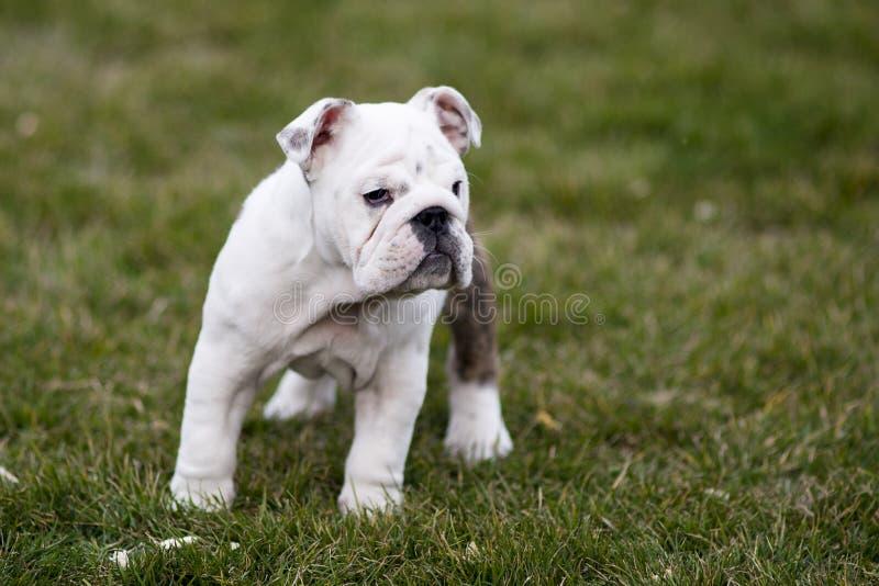 Engelsk bulldogg arkivfoton