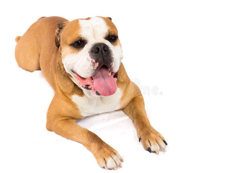 Engelsk bulldogg arkivfoto
