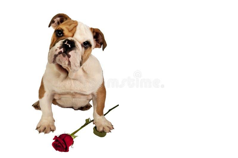Engelsk bulldogg arkivbild