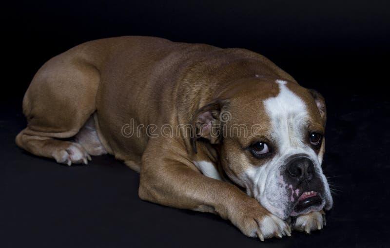 Engelsk bulldogg arkivbilder