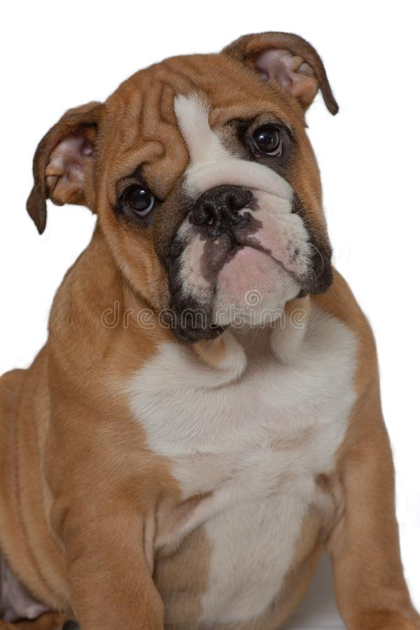 Engelsk bulldogg, 5 gamla som månader sitter på vit bakgrund och framåtriktat ser royaltyfri bild