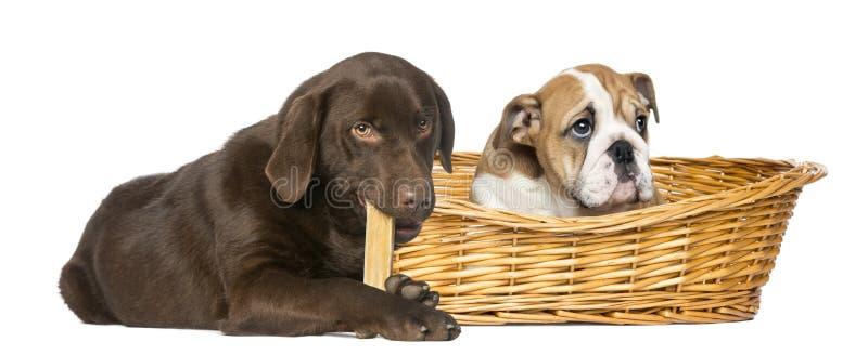 Engelsk bulldogg i en vide- korg och labrador royaltyfria bilder