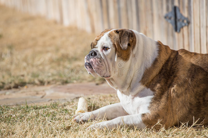 Engelsk bulldogg med benet royaltyfri bild