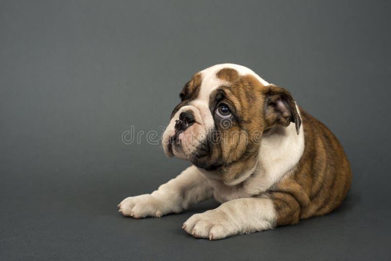 Engelsk bulldoggvalp royaltyfri fotografi