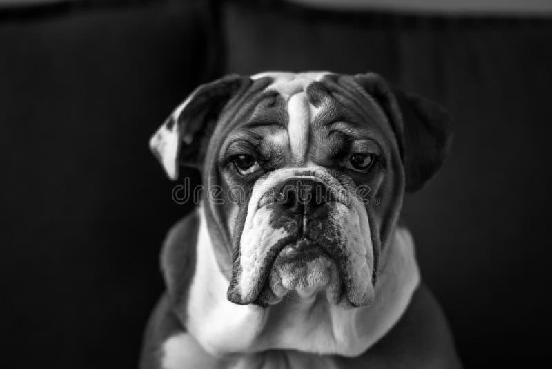 Engelsk bulldoggvalp royaltyfri foto