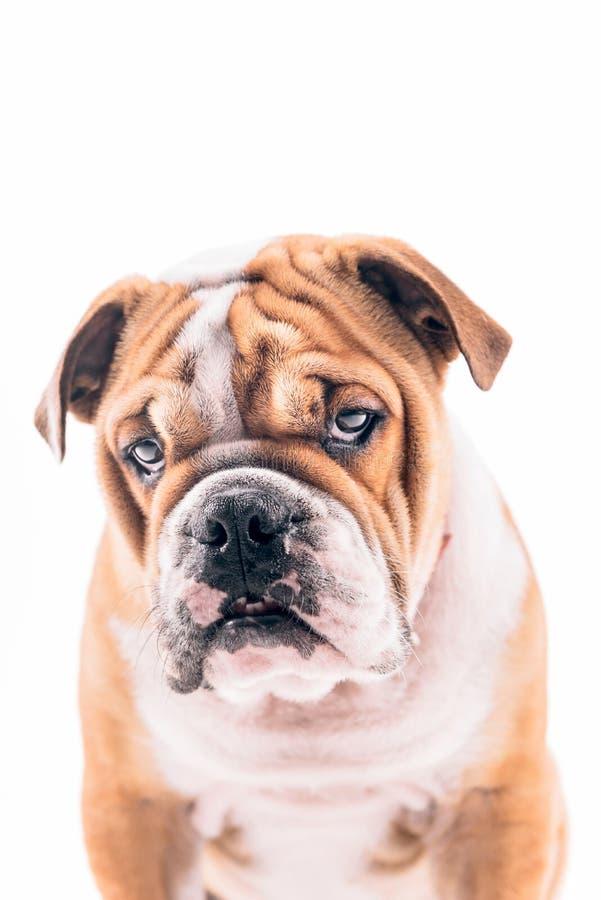 Download Engelsk Bulldoggvalpstående Arkivfoto - Bild av orange, engelskt: 78727130