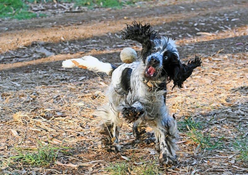 Engelsk Cocker Spaniel hund som spelar med en boll arkivfoto