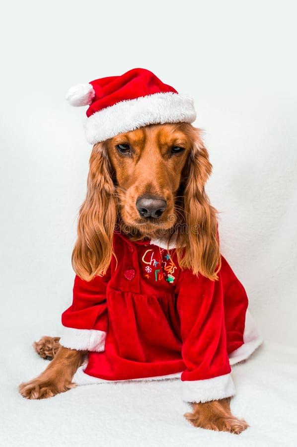 Engelsk cockerspaniel för jul i röd juldräkt royaltyfri fotografi