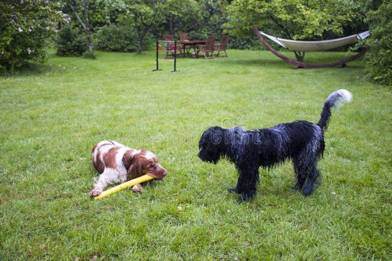 Engelsk cockerspaniel och holländsk fårhund tillsammans royaltyfria foton
