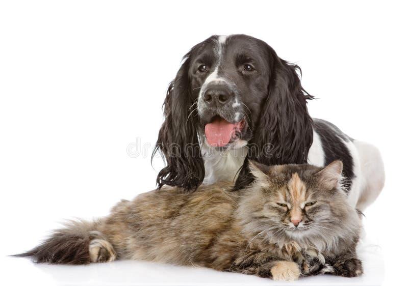 Engelsk cockerspanielhund och katt fotografering för bildbyråer