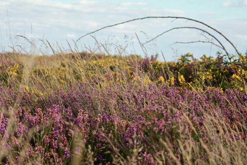 Engelsk Heathland i sommar arkivbild