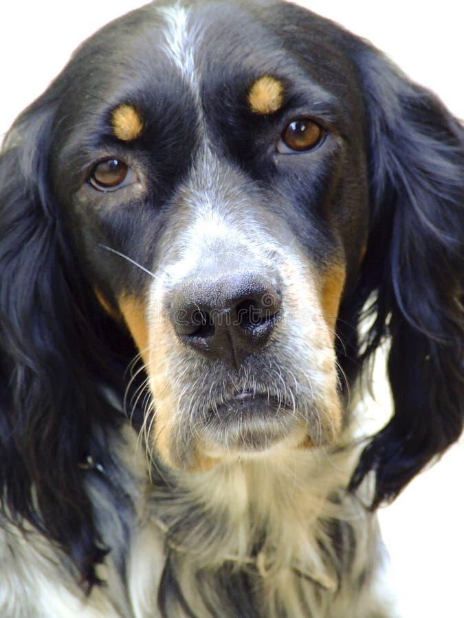 engelsk setter för hund arkivbild