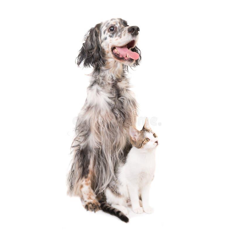 Engelsk setter för hund och inhemsk katt royaltyfria bilder