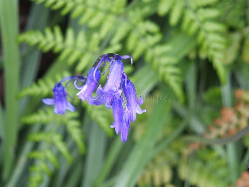Engelska blåklockor i April i skogsmark royaltyfria foton