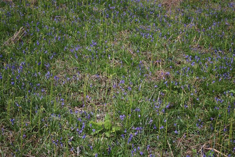 Engelska blåklockor, icke--scripta hyacinthoides royaltyfria foton