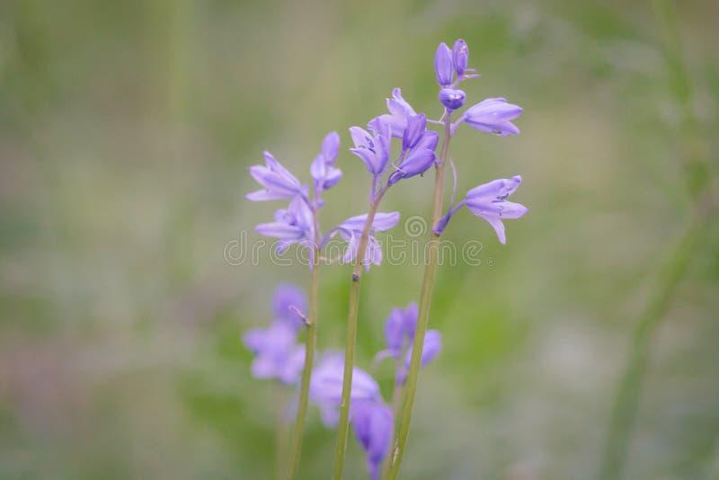 Engelska blåklockor med den mjuka fokusen och mjuk bakgrund royaltyfri foto
