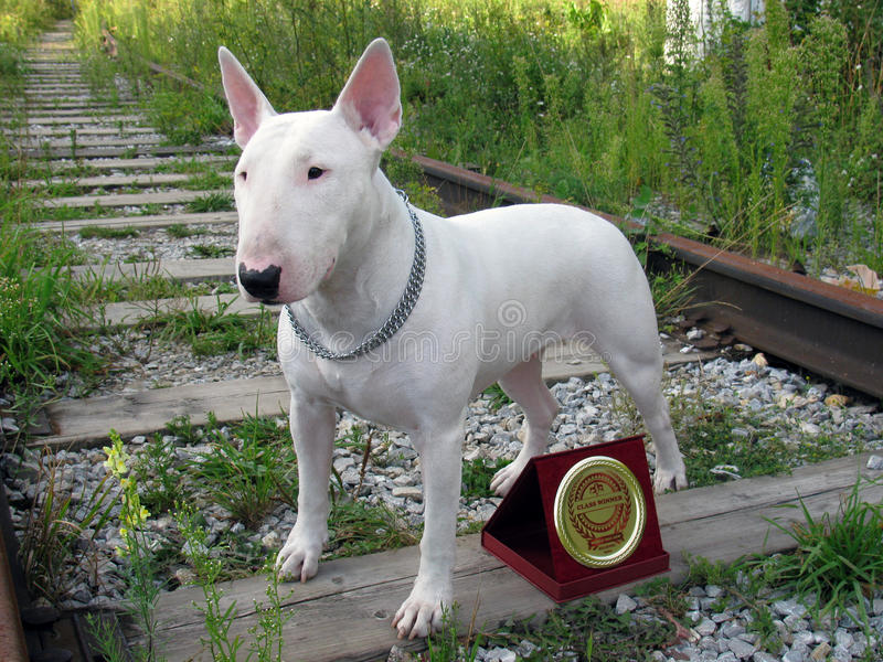 Engelska bull terrier går utomhus arkivfoton