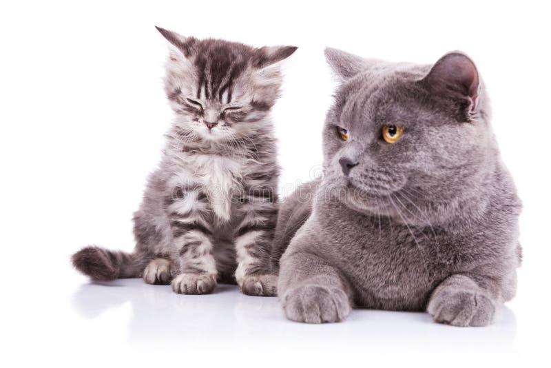 Engelska katter. ligga för moder och gröngölingsitting royaltyfria bilder