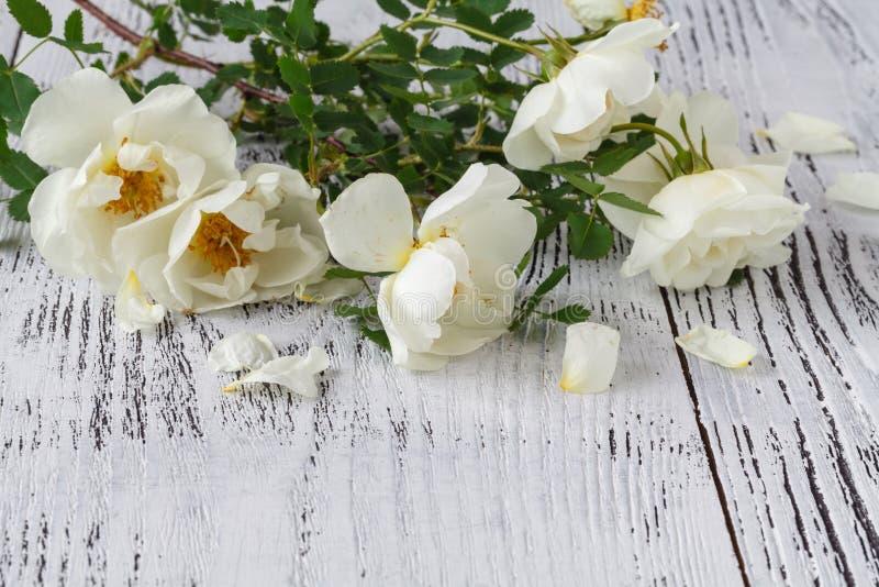 Engelska rosor lägger på en vit snör åt fotografering för bildbyråer