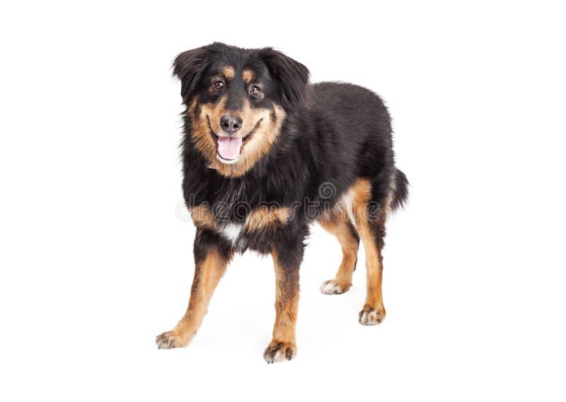 Engelskaherde Cross Dog Standing royaltyfria bilder