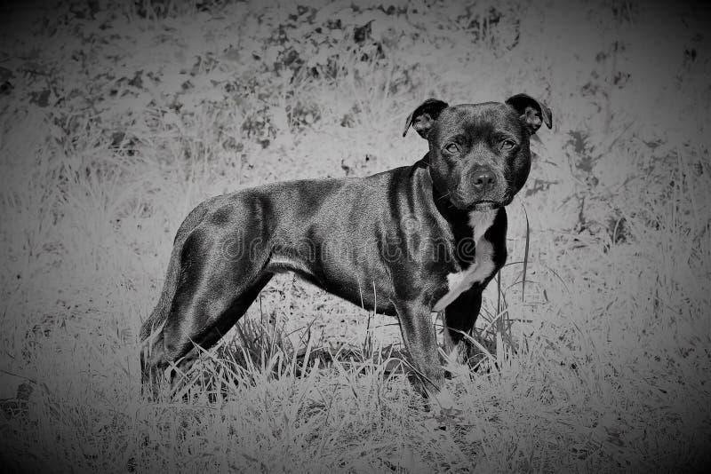 EngelskaStaffordshire Bullterrier royaltyfri foto