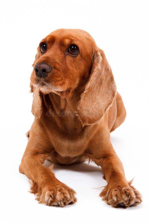 Engelskt ligga för cockerspanielhund royaltyfri bild
