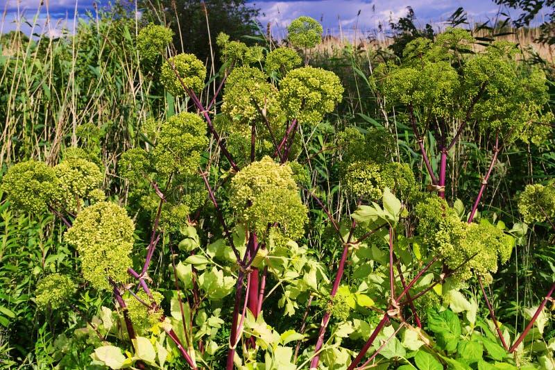 Engelwortelarchangelica, de tuinengelwortel of de wilde selderie planten het groeien in de weide stock foto's