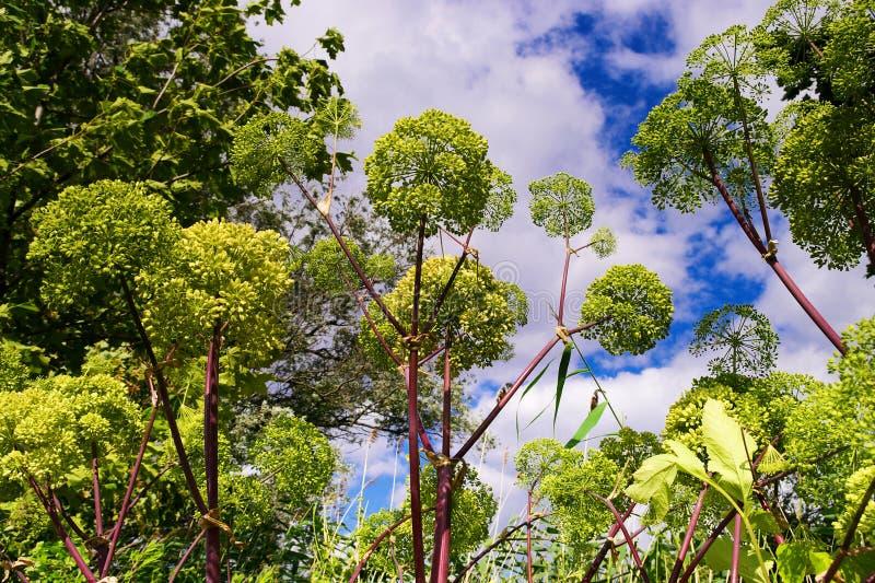Engelwortelarchangelica, de tuinengelwortel of de wilde selderie planten op de hemelachtergrond stock fotografie