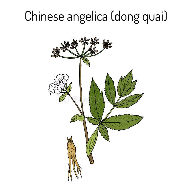 Engelwortelsinensis, of dongquai, of vrouwelijke ginseng - geneeskrachtig kruid royalty-vrije illustratie