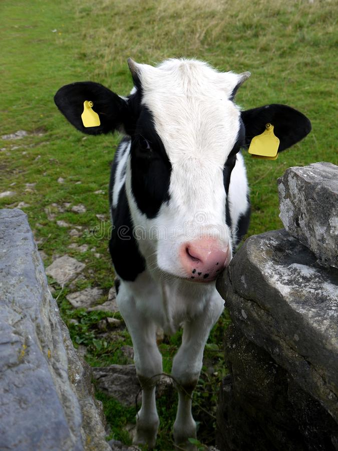 England: Calf With Drystone Wall Royalty Free Stock Image