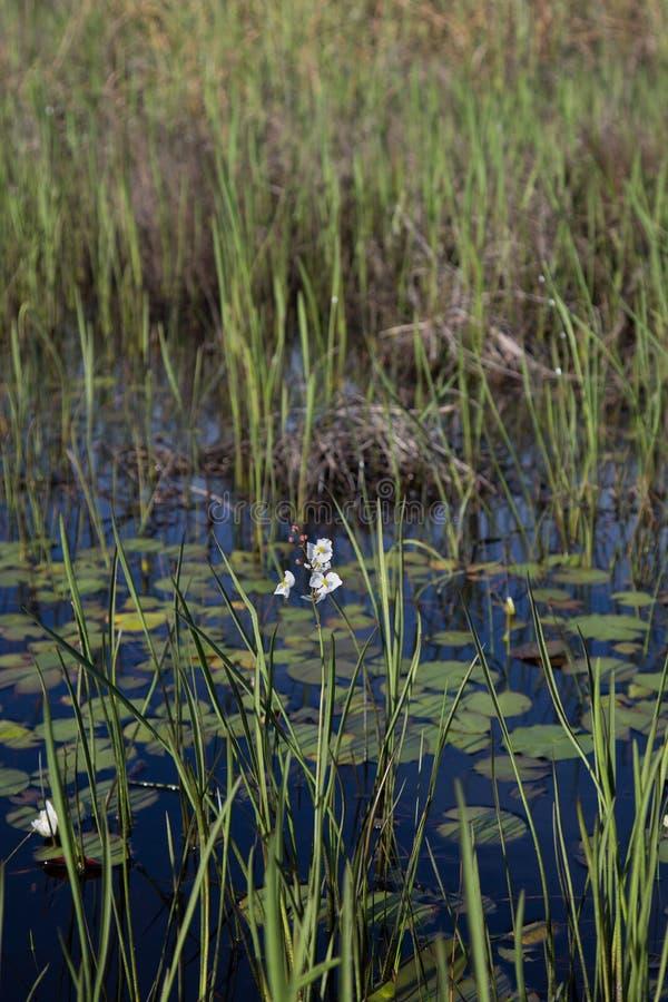 Englemann的生长在黑暗的水,现实自然光中的箭头白色野花和芦苇画象  免版税库存照片