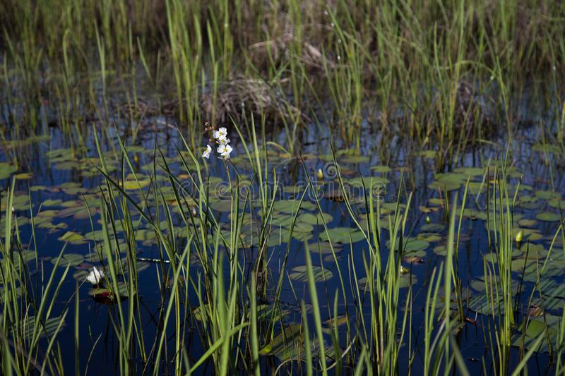 Englemann`s Arrowhead white wildflower and reeds growing in dark water, realistic natural light. Louisiana marsh wetlands stock images
