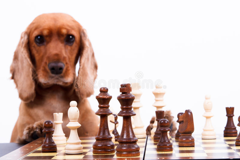 Englisch-Cocker spaniel-Hund, der Schach spielt lizenzfreies stockfoto