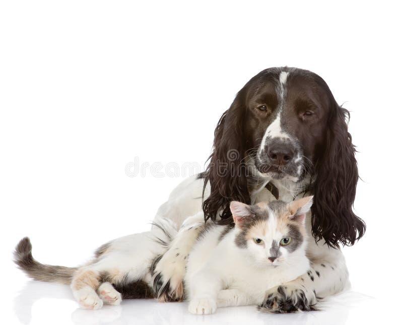 Englisch-Cocker spaniel-Hund und -kätzchen zusammen stockfotografie