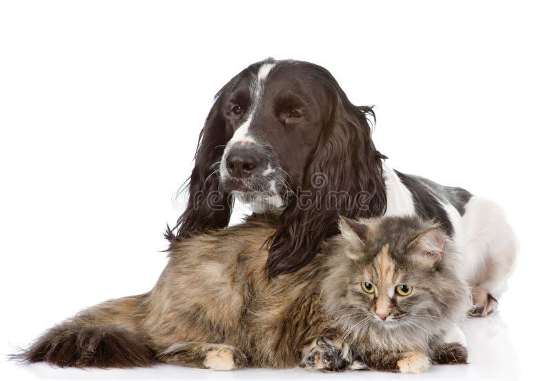 Englisch-Cocker spaniel-Hund und -katze lizenzfreie stockfotografie
