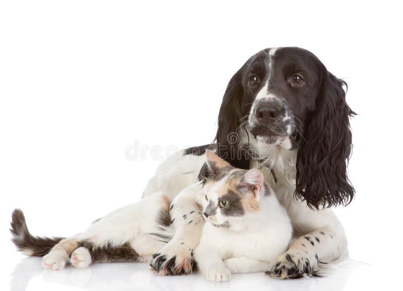 Englisch-Cocker spaniel-Hund und -katze liegen zusammen. stockfotografie
