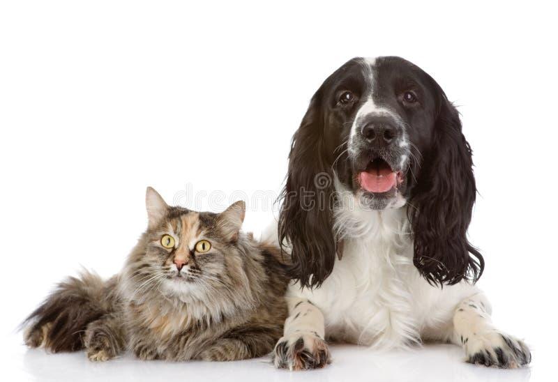 Englisch-Cocker spaniel-Hund und -katze liegen zusammen stockfotografie