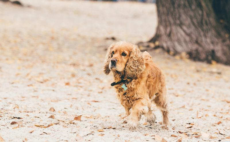 Englischcocker spaniel-Hund, der auf dem Strand läuft lizenzfreie stockfotos
